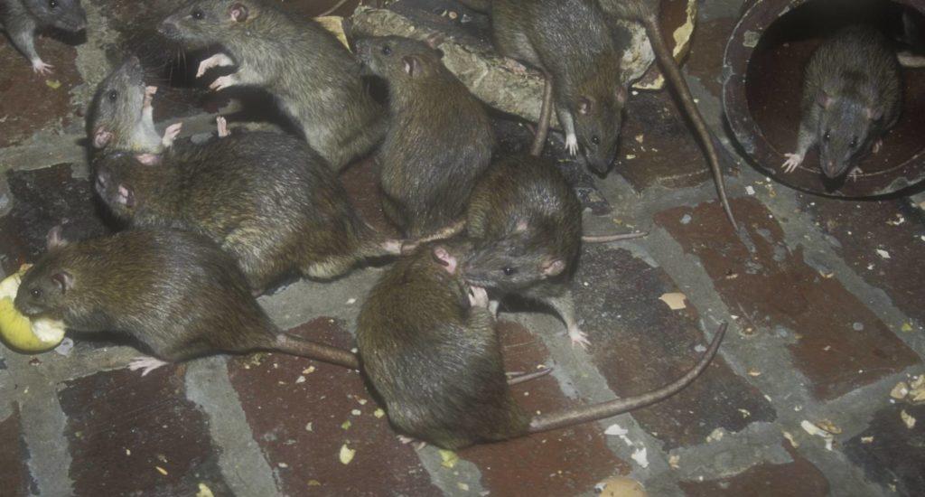 уничтожение крыс в Зеленогорске